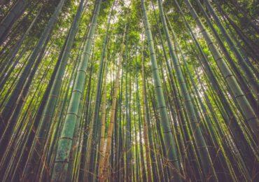 Il bambù mangia la <b>CO2</b>