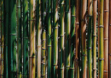 Il bambù gigante alleato dell'ambiente: un ettaro compensa le emissioni annuali di <b>CO2</b> di circa 40 ...