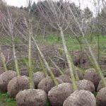 In Toscana saranno messe a dimora oltre 18 mila piante | in grado di <b>assorbire</b> 7400 tonnellate di ...